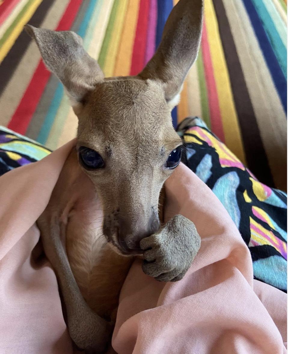 joey, baby kangaroo